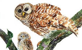 Pygmy Owl and Owlet