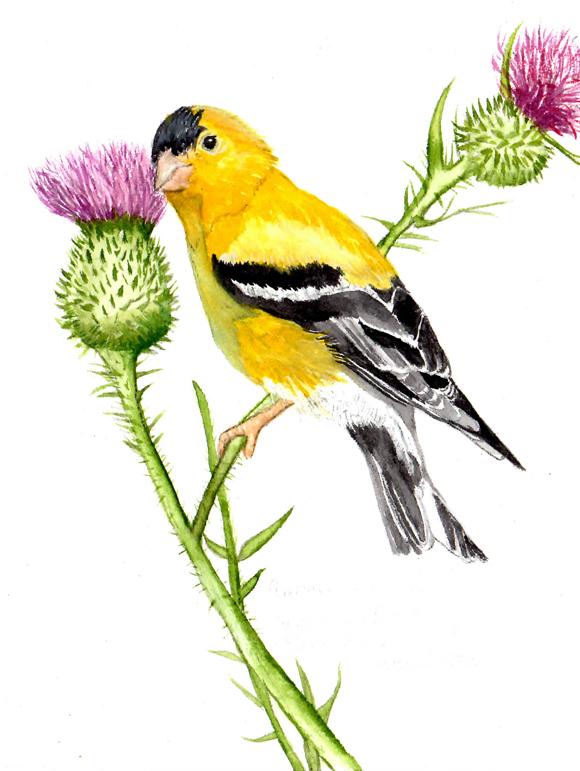 Susan LeVine Art » American Goldfinch