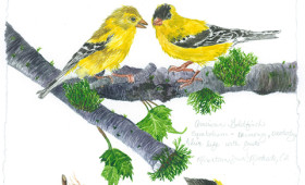 American Goldfinch  couple