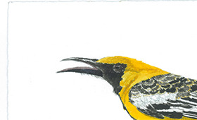 Hooded Oriole, nest, eggs and feather