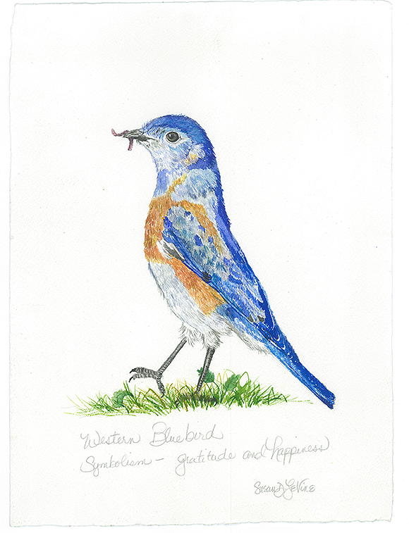 Western-Bluebird-copy_forweb