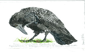 The Contemplative American Crow