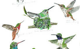 Hummingbird varieties in California