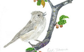 Oak Tit Mouse
