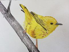 susan_levine_yellow_warbler