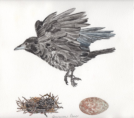 LeVine_American Crow with nest and egg flying.tiff copy