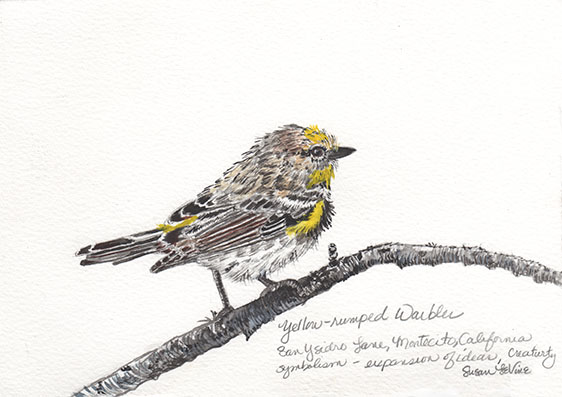 yellow rumped warbler_levine_web