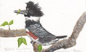 Belted Kingfisher catches a fish