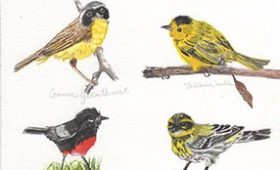 Assorted Warblers