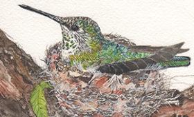 Anna' Hummingbird