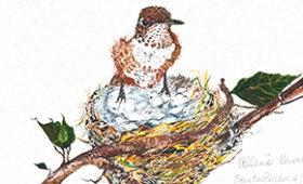 Allen's Hummingbird on his nest