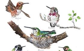 Hummingbirds in California