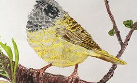 MacGillivray Warbler