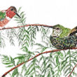 Allen's hummingbird duo in a Redwood tree