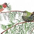Allen's hummingbird duo in a Redwood tree