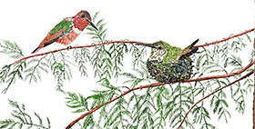 Allen's Hummingbird duo on the branches of a Redwood tree