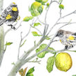 Audubon Yellow-rumped warblers in a lemon tree