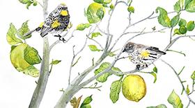 Audubon Yellow-Rumped Warbler
