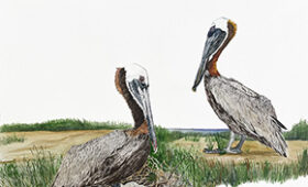 Brown Pelican Couple